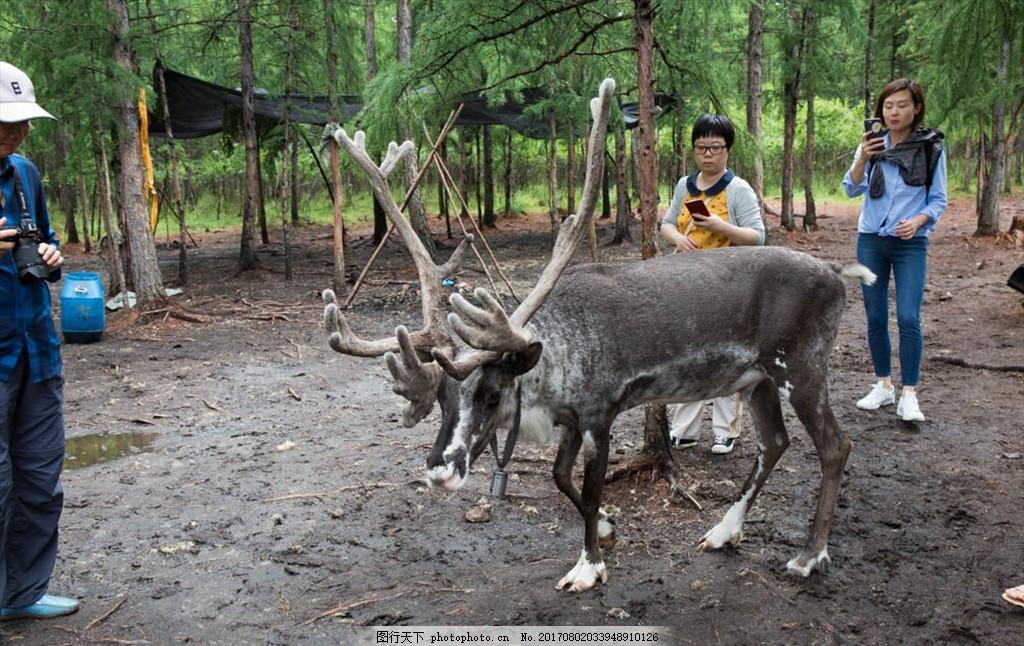 内蒙古 呼伦贝尔 动物 四不像 生态庄园 呼伦贝尔大草原 摄影 旅游