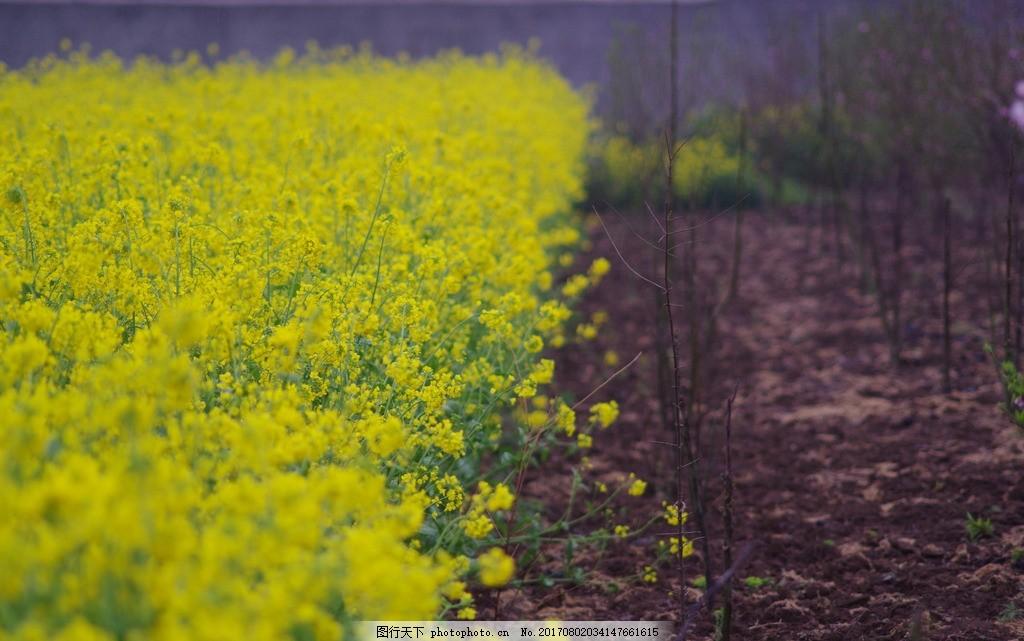 油菜花 花海 雨后 油菜田 唯美 摄影 自然景观 自然风景 300dpi jpg