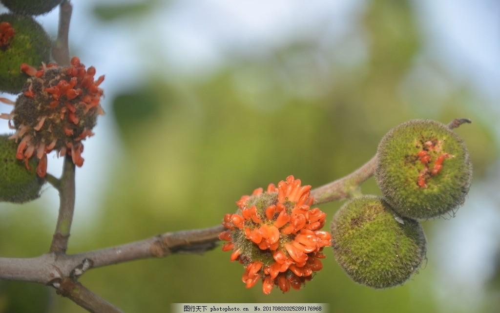 构树的果 树 构树 楮树 野谷树 聚花果 肉质 橙红色 花草树木 摄影