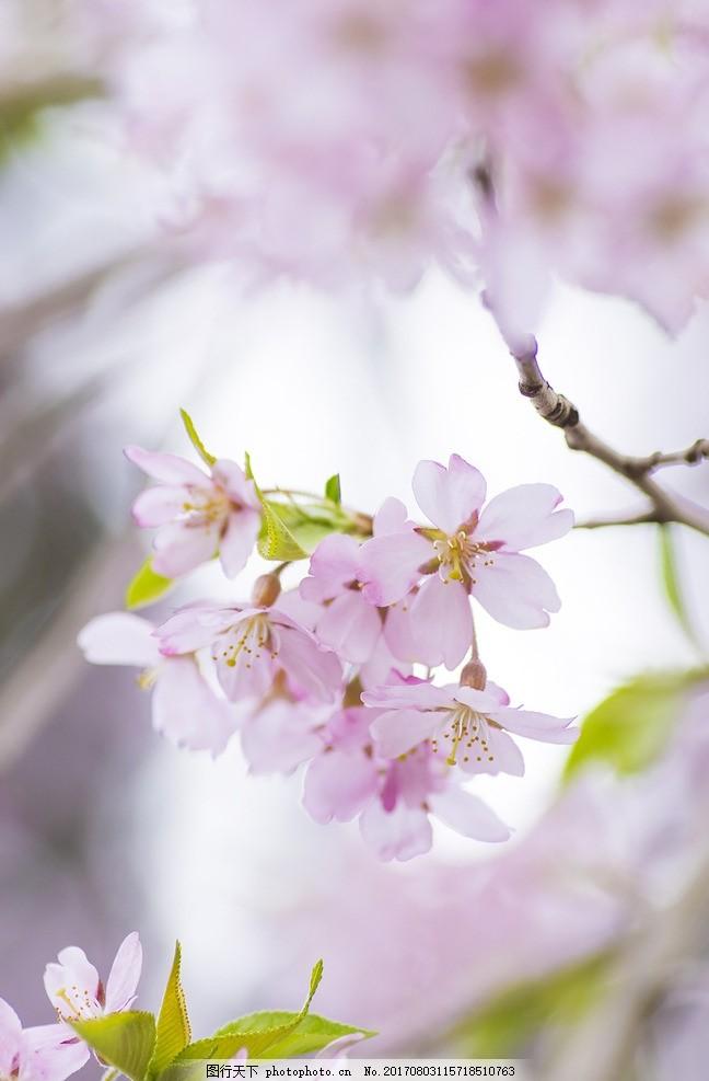 樱花 日本素材 日本风光 日本风景 日本元素 桃花 摄影图 摄影