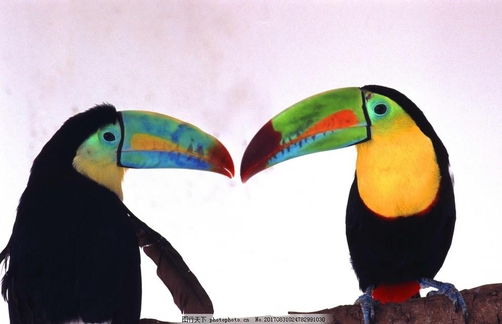 巨嘴鸟 大嘴巴 动物世界 哺乳动物 托哥巨嘴鸟 图素动植物类 摄影